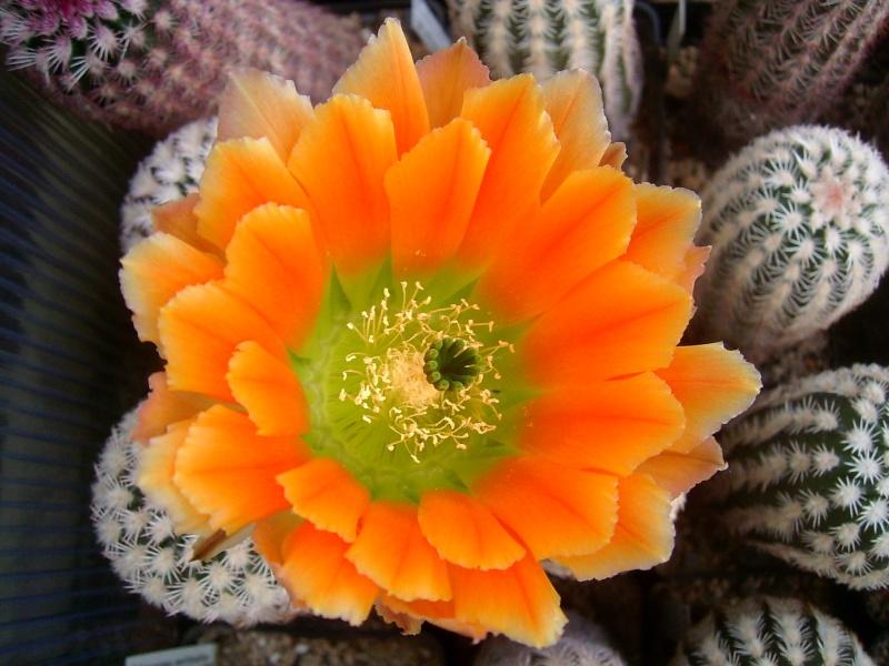 Achim`s Blütenbalkon - Seite 6 Pic_0137