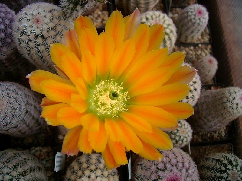 Achim`s Blütenbalkon - Seite 6 Pic_0138