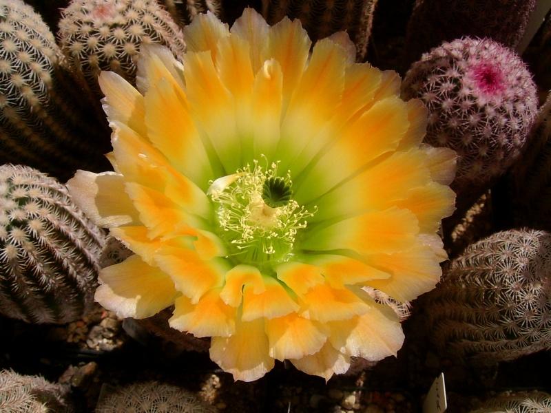 Achim`s Blütenbalkon - Seite 6 Pic_0141