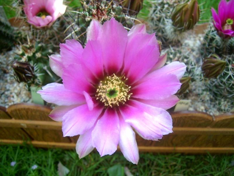 Achim`s Blütenbalkon - Seite 6 Pic_0144