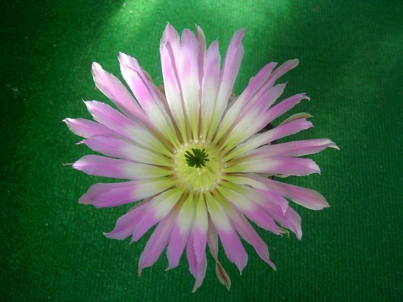 Achim`s Blütenbalkon - Seite 6 Pic_0148