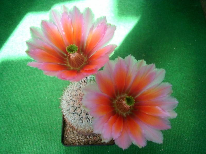 Achim`s Blütenbalkon - Seite 6 Pic_0149
