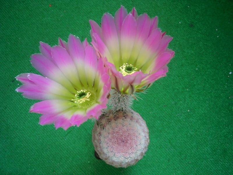 Achim`s Blütenbalkon - Seite 6 Pic_0150