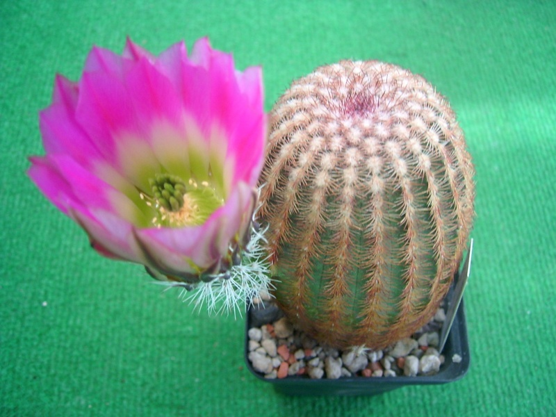 Achim`s Blütenbalkon - Seite 6 Pic_0151