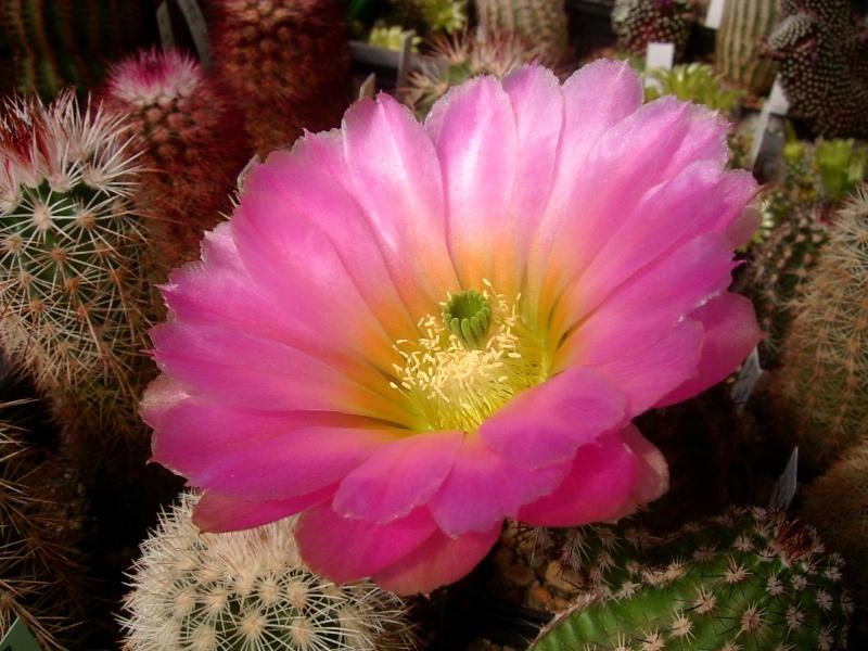 Achim`s Blütenbalkon - Seite 6 Pic_0152