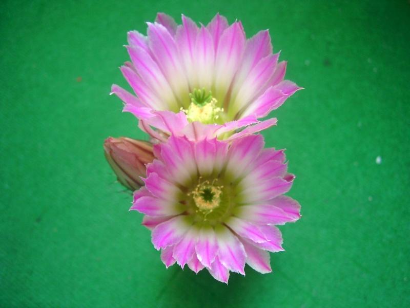 Achim`s Blütenbalkon - Seite 6 Pic_0153