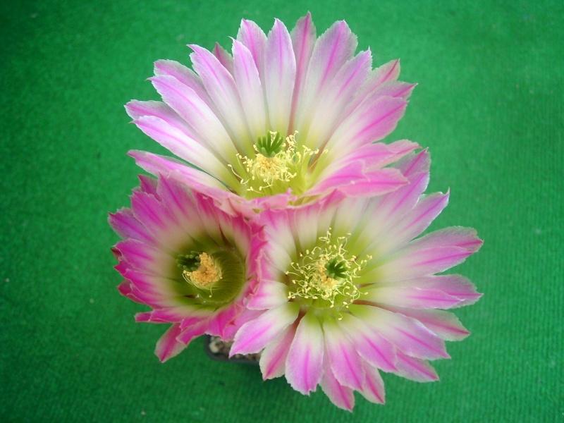 Achim`s Blütenbalkon - Seite 6 Pic_0154