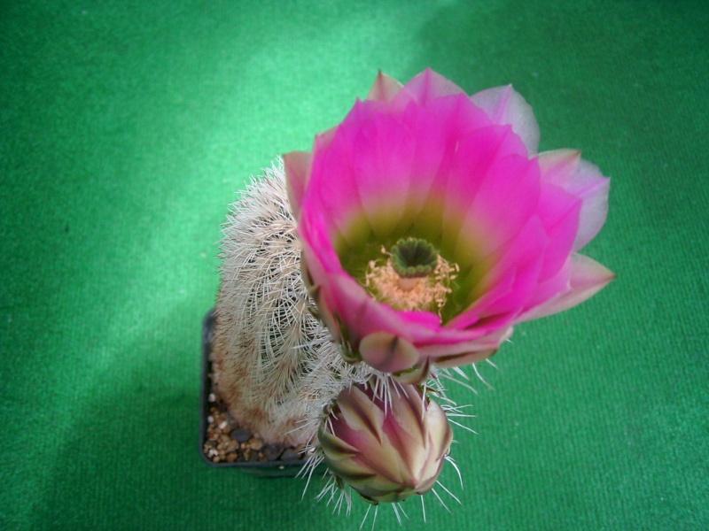 Achim`s Blütenbalkon - Seite 6 Pic_0157