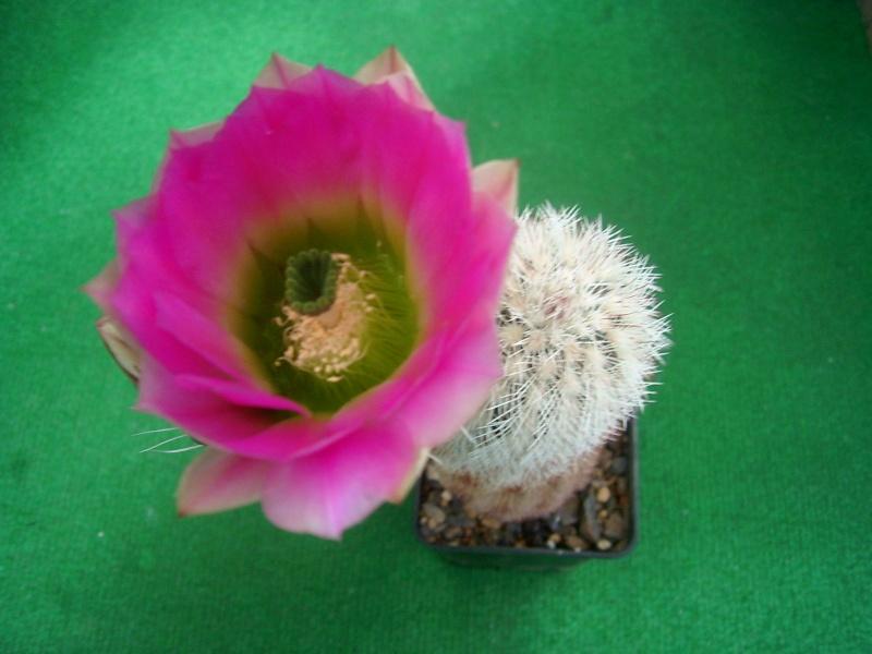 Achim`s Blütenbalkon - Seite 6 Pic_0158