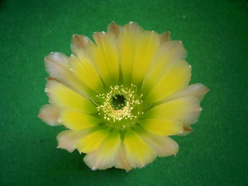 Achim`s Blütenbalkon - Seite 6 Pic_0159