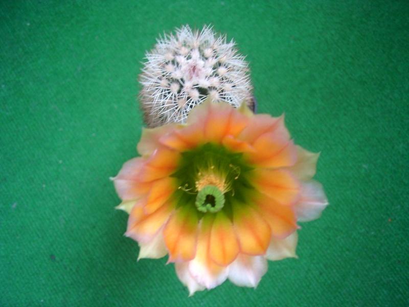 Achim`s Blütenbalkon - Seite 6 Pic_0160