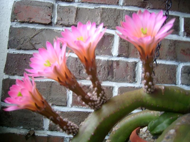 Achim`s Blütenbalkon - Seite 6 Pic_0168