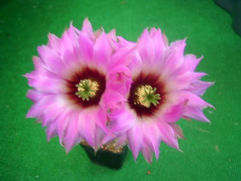 Achim`s Blütenbalkon - Seite 6 Pic_0170