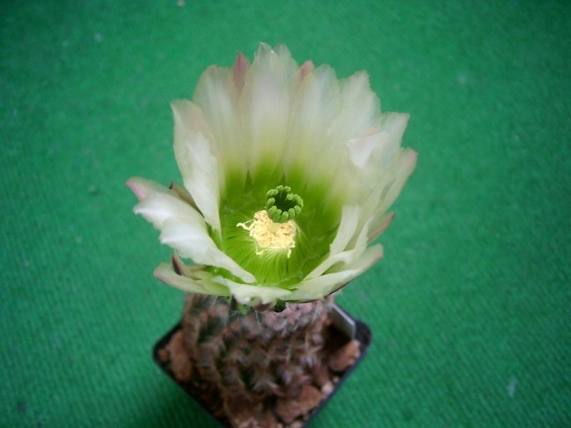 Achim`s Blütenbalkon - Seite 6 Pic_0172