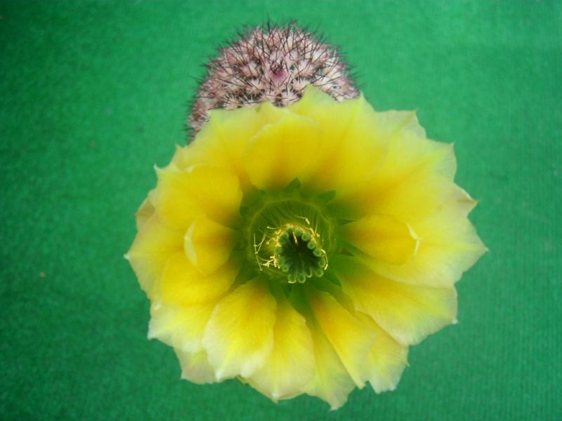 Achim`s Blütenbalkon - Seite 7 Pic_0180