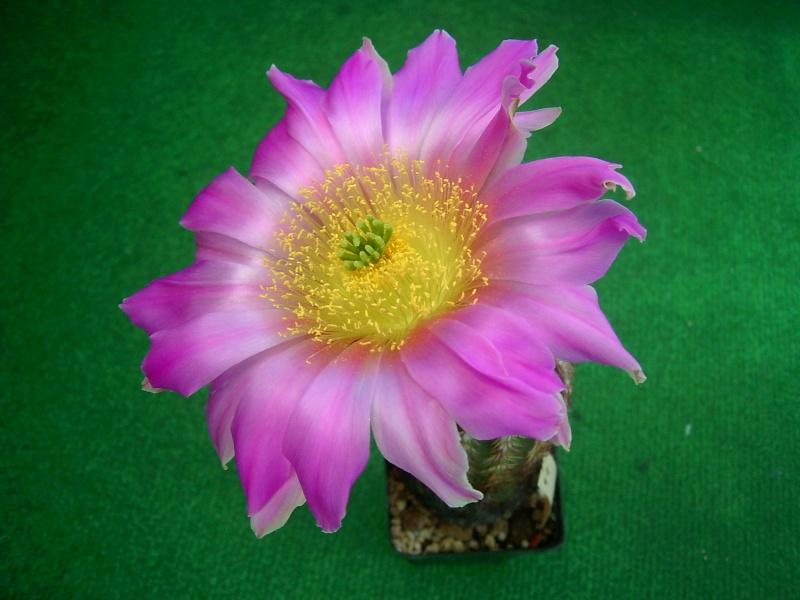 Achim`s Blütenbalkon - Seite 7 Pic_0195