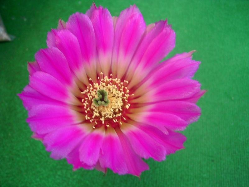 Achim`s Blütenbalkon - Seite 7 Pic_0210