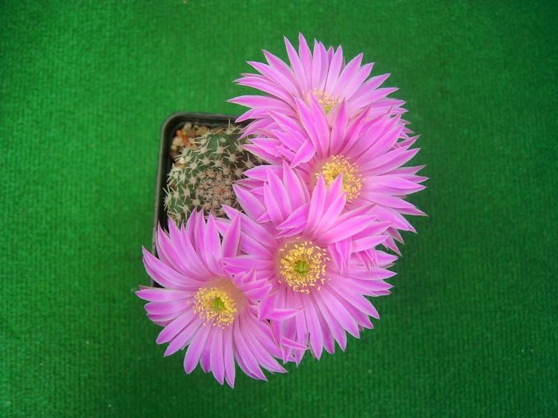 Achim`s Blütenbalkon - Seite 7 Pic_0212