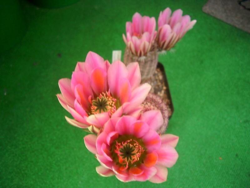 Achim`s Blütenbalkon - Seite 7 Pic_0219