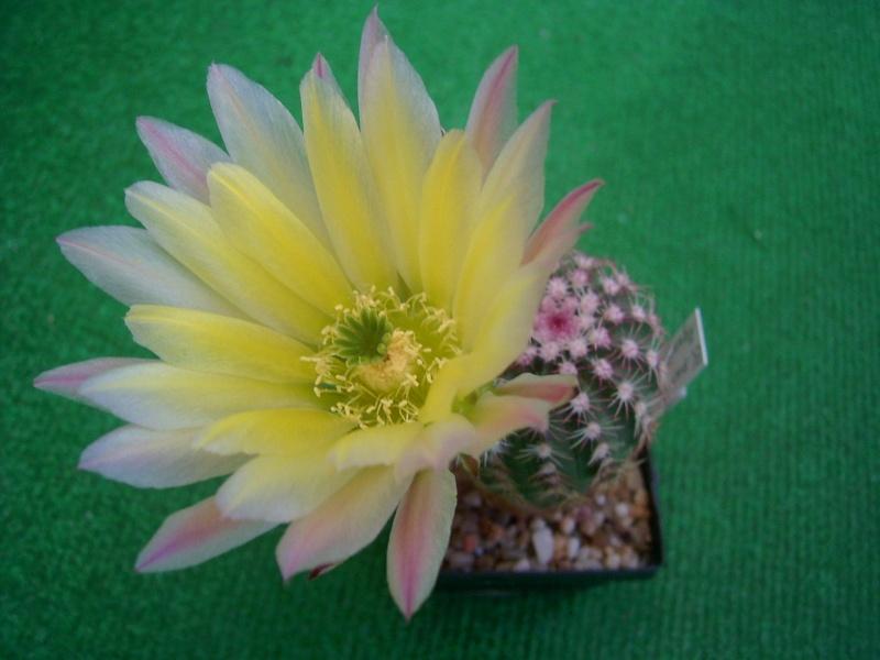 Achim`s Blütenbalkon - Seite 7 Pic_0223