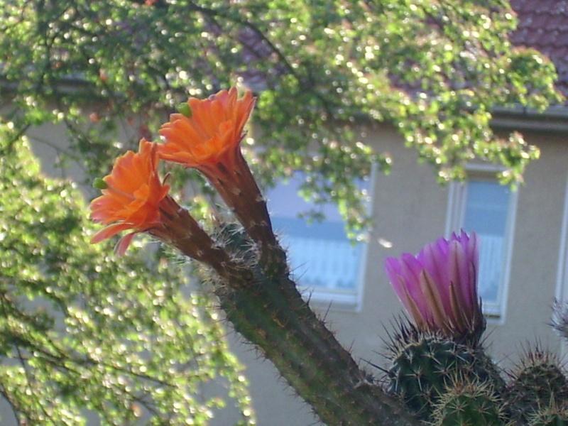 Achim`s Blütenbalkon - Seite 9 Pic_0288
