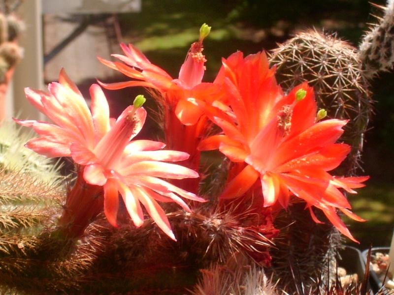 Achim`s Blütenbalkon - Seite 9 Pic_0290