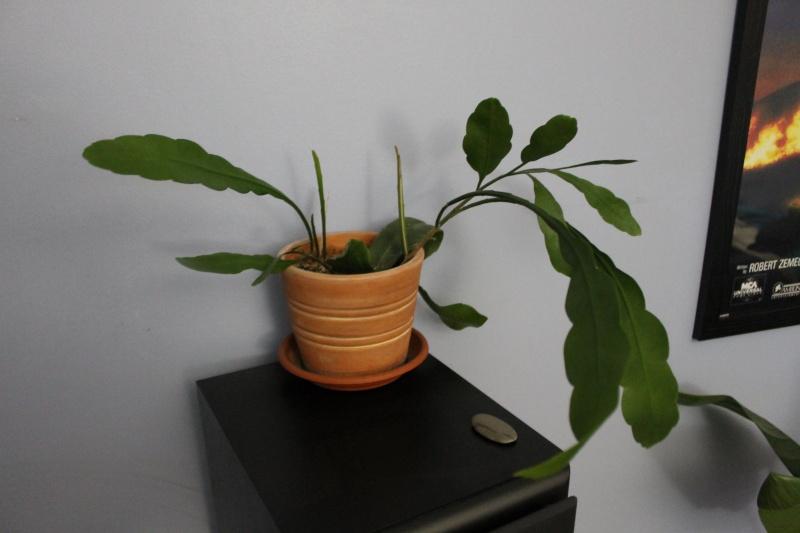 Epiphyllum Oxypetalumca pousse mais pas encore de fleurs! Prise_10