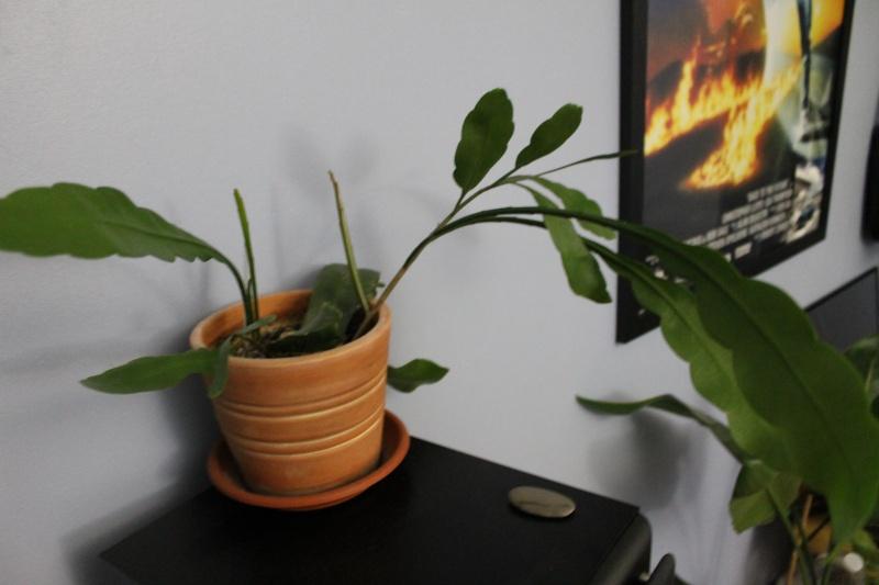 Epiphyllum Oxypetalumca pousse mais pas encore de fleurs! Prise_13
