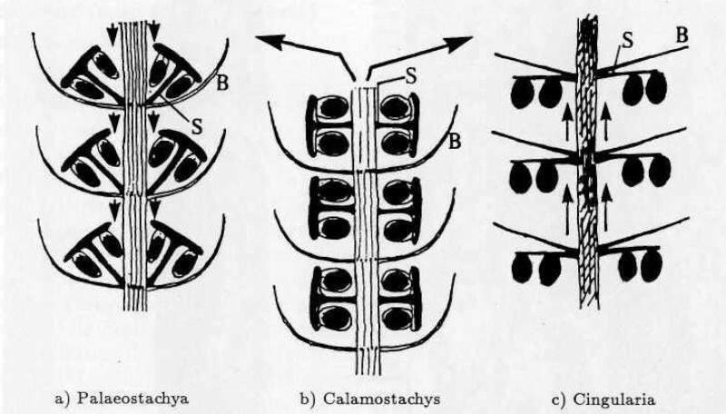 Calamites Schlotheim ,1820.  Annularia sternberg , 1822 .  - Page 2 Calami12
