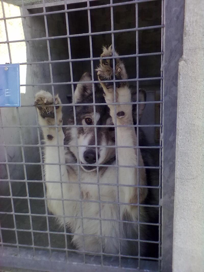 Black star femelle husky 9 ans ( 9 ans de prison ) dpt 33.risque l'eutha 22012010