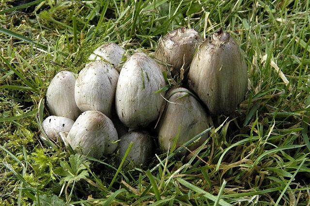 les champignons par ordre alphabétique. 11397-10