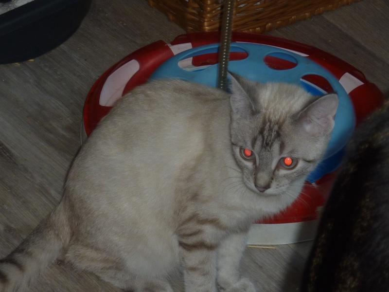 Loukie, femelle, 04.2015, typée siamoise blue tabby Chaton29