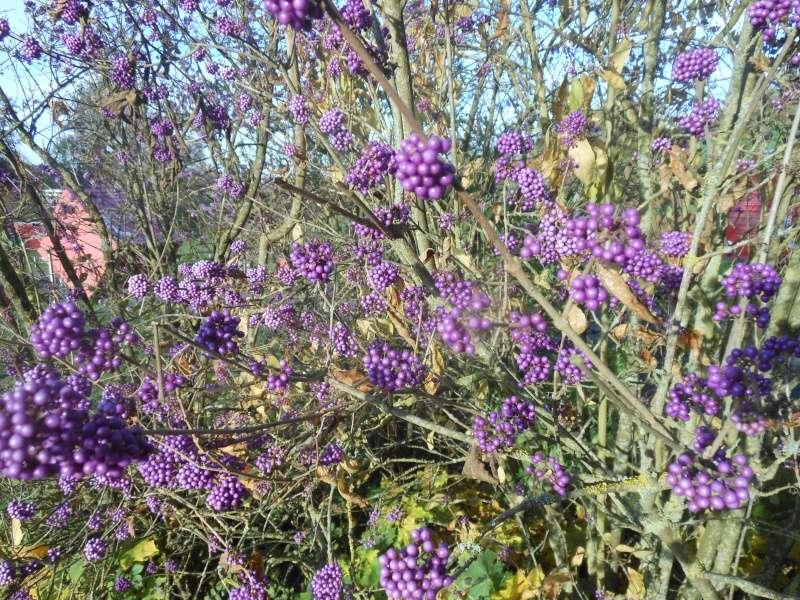 Floraisons de novembre - Page 10 Callic10