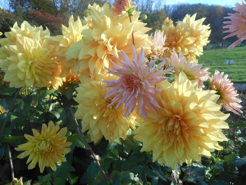 Floraisons de novembre - Page 10 Dalhia10