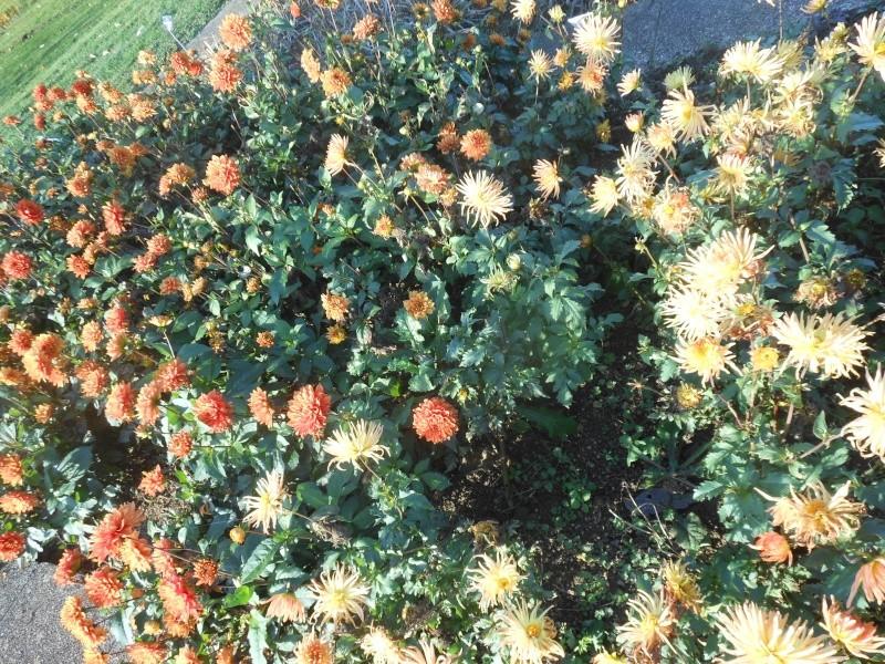 Floraisons de novembre - Page 10 Dalhia12