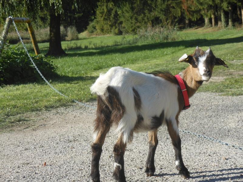 Chèvre Petite10