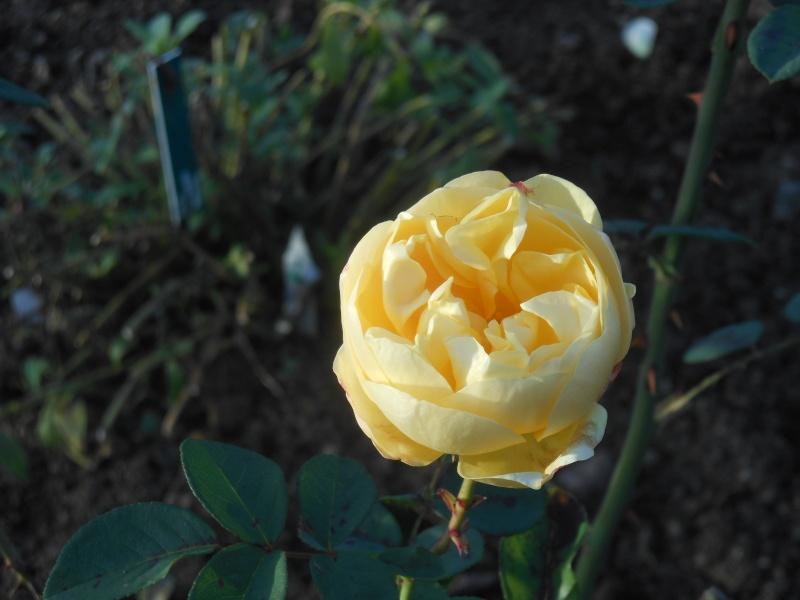 Floraisons de novembre - Page 10 Rose_g10