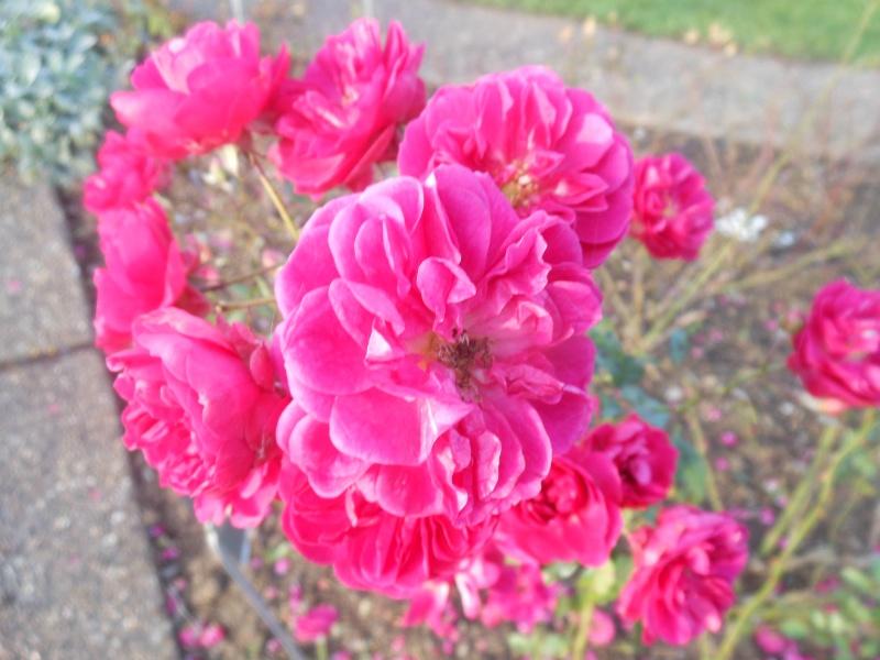 Floraisons de novembre - Page 10 Rose_j10