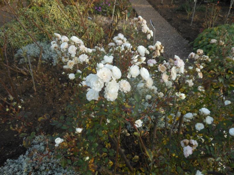 Floraisons de novembre - Page 10 Rose_j11