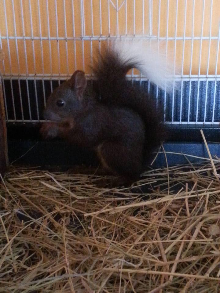 mon ecureuil du japon spyke 12002210