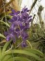 Orchideen - Seite 2 Vanda10