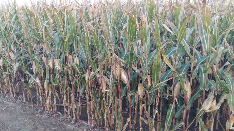 recolte maïs 2015  - Page 2 2015-112