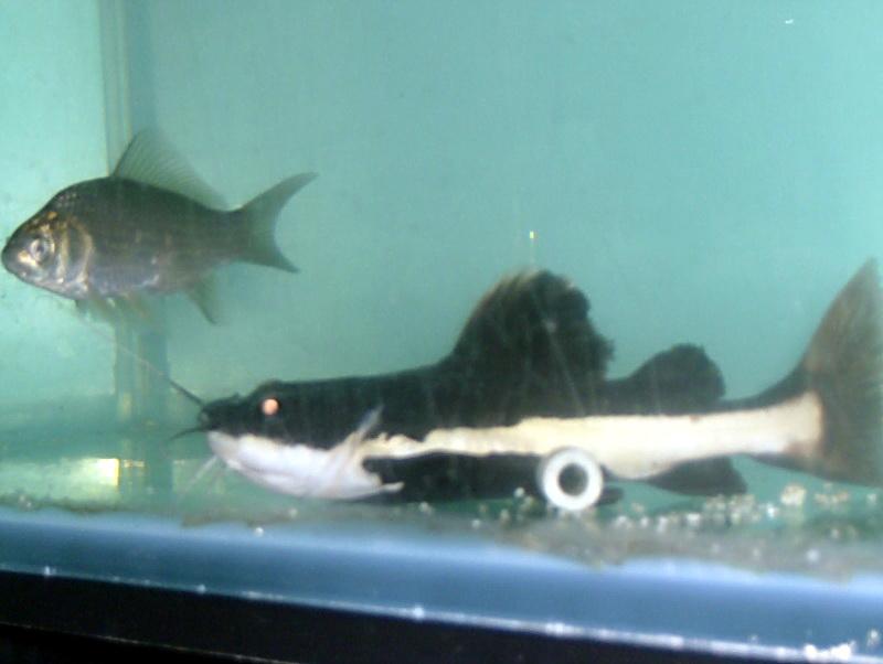 voila mes photo de mes prédateurs dans des bac différent    1210