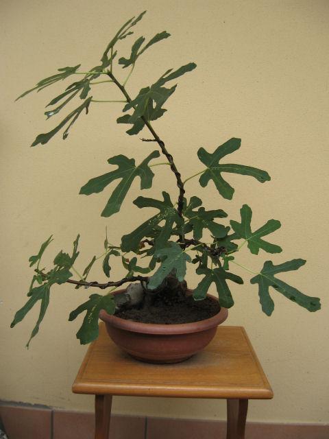 Piccolo Ficus Carica - Pagina 4 Img_5510