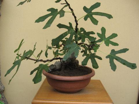 Piccolo Ficus Carica - Pagina 4 Img_5511