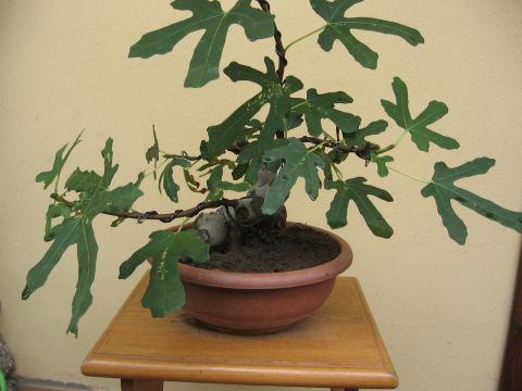 Piccolo Ficus Carica - Pagina 4 Img_5512