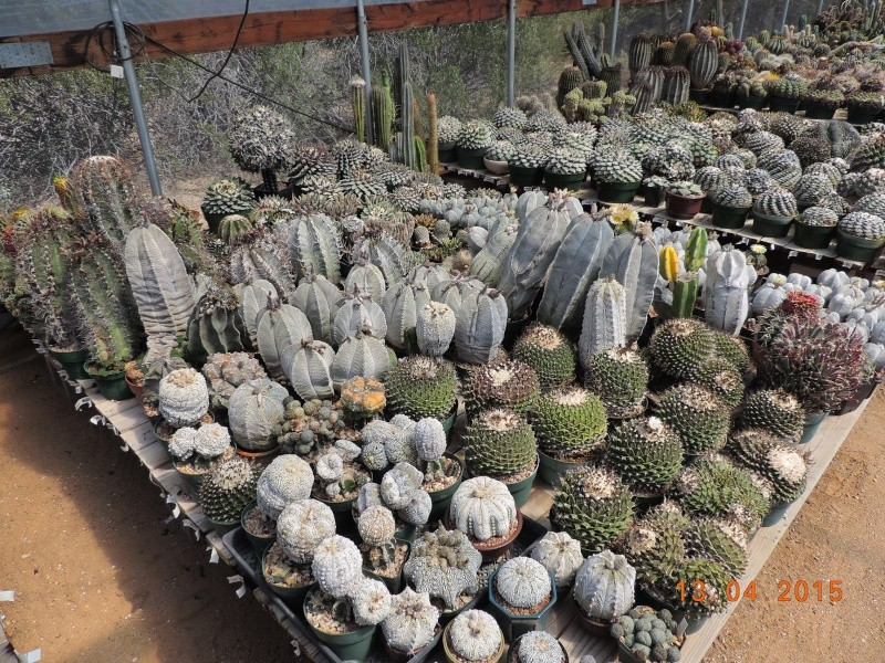 Cacti and Sukkulent in Köln, every day new flowers in the greenhouse Part 133 9075110