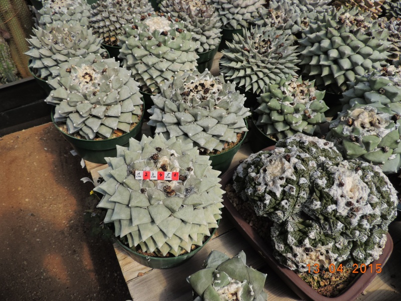 Cacti and Sukkulent in Köln, every day new flowers in the greenhouse Part 133 9075310