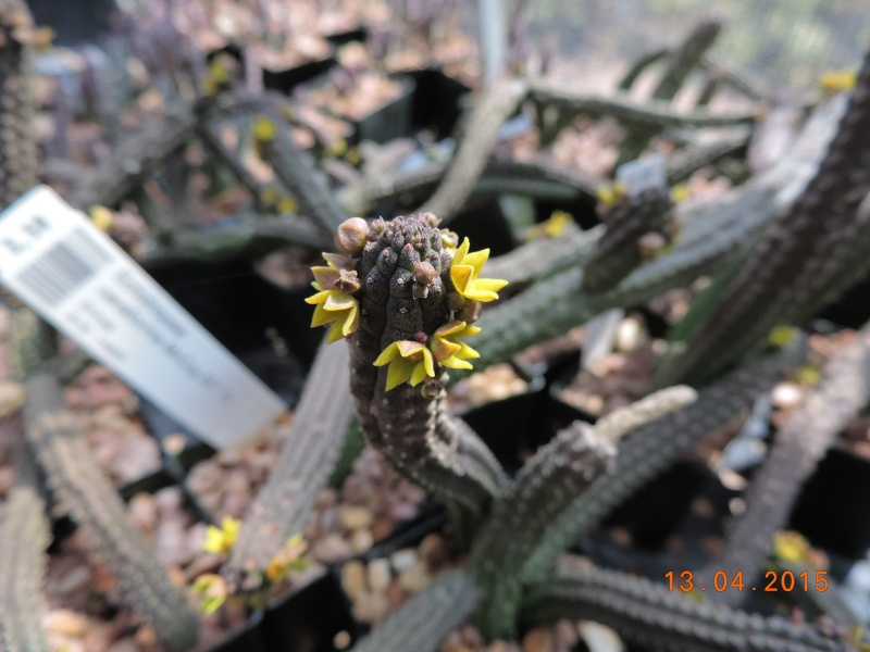 Cacti and Sukkulent in Köln, every day new flowers in the greenhouse Part 133 9079010