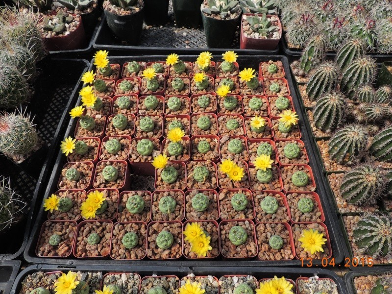 Cacti and Sukkulent in Köln, every day new flowers in the greenhouse Part 133 9079810